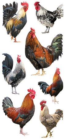Roosters Stickers