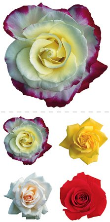 Mixed Roses A Stickers