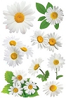 3D White Daisies Stickers